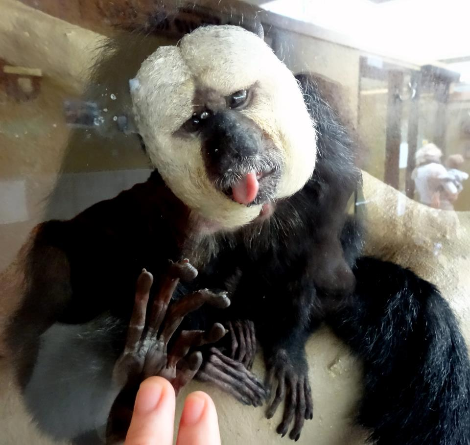 Telepathic Communication with a White-faced Saki Monkey